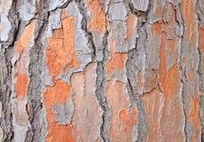 Pinus pinae bark Stock Photography