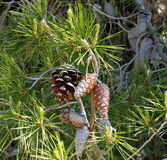 Pinus Pinaster Or Maritime Pine With Cones Stock Photography