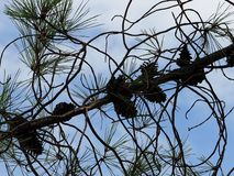 Pinus Pinaster Or Maritime Pine With Cones stock images