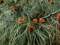 Pinus Pinaster Or Maritime Pine With Flowers Stock Images