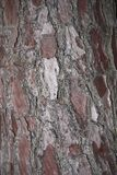 Pinus pinaster streifen nahes oben ab stockfotos