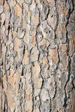 Pinus Pinea Lizenzfreie Stockfotos