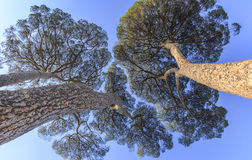Pinus pinea growing on the territory of Italy Stock Images