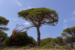 Pinus pinea, pin de parapluie Corse, France Image stock
