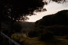 Pinus Pinea tr?d p? solnedg?ng royaltyfri foto