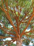 Pinus pinea umbrella pine seen from below Royalty Free Stock Images