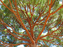 Pinus pinea umbrella pine treetop Stock Images