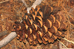 Pinus ponderosa, Ponderosa-Kiefer, Stier-Kiefer, Blackjackkiefer Stockfotografie