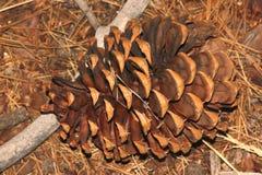 Pinus ponderosa, Ponderosa sosna, byk sosna, Blackjack sosna Fotografia Stock