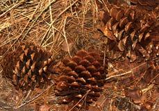 Pinus ponderosa, Ponderosa sosna, byk sosna, Blackjack sosna Zdjęcie Stock