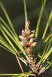 Pinus Ponderosa Wiecznozielony Drzewny Nowy przyrost Obrazy Stock