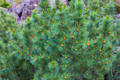 Pinus pumila. Bush of mountain pines in its natural habitat Stock Photo