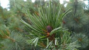 Pinus pumila Stock Photography