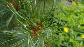 Pinus pumila Royalty Free Stock Photos