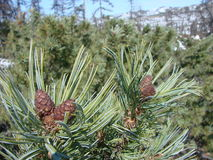 Pinus pumila Royalty Free Stock Photography