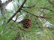 Pinus Radiata Stockbild