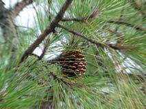Pinus Radiata Stock Image