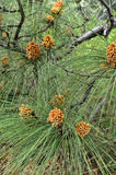 Pinus roxburghii male cones Royalty Free Stock Images