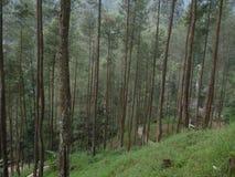 Pinus& x27; s树 库存图片