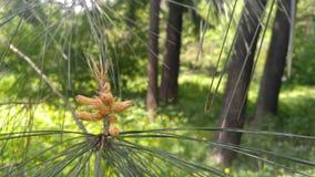 Pinus sabiniana Immagini Stock