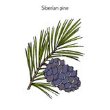 Pinus sibirica, or Siberian pine Stock Photo