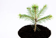Pinus soils Royalty Free Stock Photography