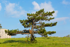Pinus stankewiczi Zdjęcia Royalty Free