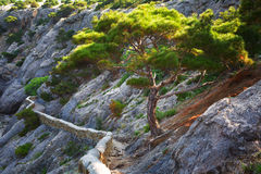 Pinus stankewiczii Royalty Free Stock Photography