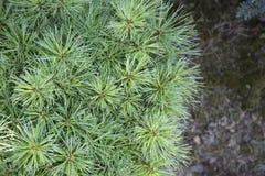 Pinus strobus Greg Immagini Stock Libere da Diritti
