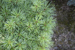 Pinus strobus Greg Royalty Free Stock Images