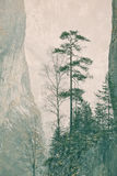 Pinus sylvestris. One specimen of Pinus sylvestris (Scots Pine) stranded on a rock in Bicaz Gorges, Romania Royalty Free Stock Image