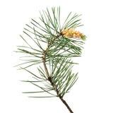 Pinus sylvestris branch. Isolated on white background Royalty Free Stock Photo