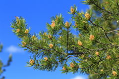 Pinus sylvestris. Branch of pine on a background of blue sky. Pinus sylvestris. Pine branch with cones and male inflorescence Royalty Free Stock Photography