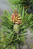 Pinus sylvestris. Branch of pine with inflorescence and green co. Pinus sylvestris. Pine branch with cones and male inflorescence Royalty Free Stock Images