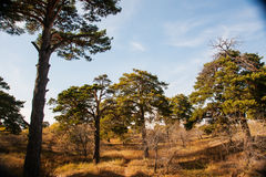 Pinus sylvestris. Hailar national forest parks in China Royalty Free Stock Images