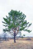 Pinus sylvestris. Pine ordinary. On natural background Stock Photography