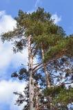 Pinus sylvestris - Scots pine trees Stock Photography