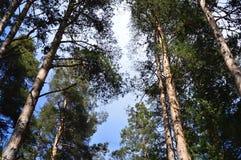 Pinus sylvestris - Scots pine trees Royalty Free Stock Photography