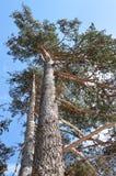 Pinus sylvestris - Scots pine trees Royalty Free Stock Photo