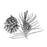 Pinus sylvestris tree. Branch, pine and cones in black isolated on white Stock Image