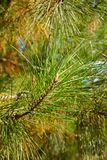 Pinus taeda Stock Photo