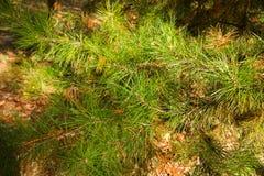 Pinus taeda Royalty Free Stock Image