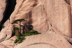 Pinus taiwanensis stockfoto