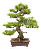 Pinus thunbergii stock photography