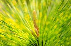 Pinus thunbergii Stockfotografie