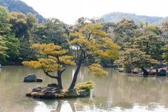 Pinus thunbergii of het Japanse zwarte pijnboom groeien op een eilandje Stock Afbeelding