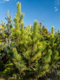 Pinus thunbergii pine tree Stock Image