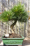 Pinus thunbergii, Pine Tree. It is one of the classic bonsai subjects. Bonsai is is a Japanese art form using miniature trees grown in containers. The purposes Stock Photography