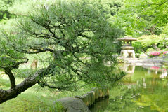 Pinus thunbergii tree, stone lantern in Japanese garden Royalty Free Stock Photography