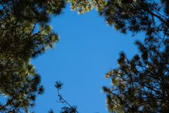 Free Pinus Tree And Blue Sky Background Royalty Free Stock Photos - 167932808
